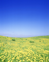 タンポポ咲く牧草