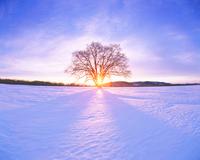 はるにれの木と夕日