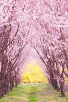 トウカイザクラ並木とレンギョウ 22320010497| 写真素材・ストックフォト・画像・イラスト素材|アマナイメージズ