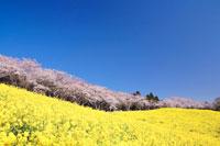 菜の花畑と桜並木