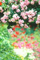 バラ 22320010871| 写真素材・ストックフォト・画像・イラスト素材|アマナイメージズ