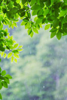 ブナの若葉と雨滴