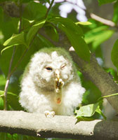 エゾフクロウの幼鳥