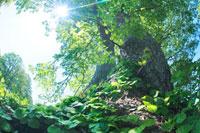 イワガラミとシナノキの大木と木もれ日