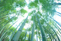 新緑の竹林と風