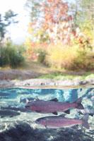 ニジマス 22320011631| 写真素材・ストックフォト・画像・イラスト素材|アマナイメージズ