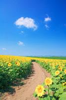 ヒマワリ畑と遊歩道
