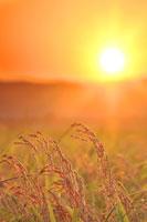 コシヒカリの稲穂と夕日