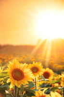 ヒマワリ畑と夕日
