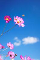 コスモスとミツバチ 22320012876| 写真素材・ストックフォト・画像・イラスト素材|アマナイメージズ