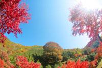 モミジと栗の大木と木もれ日