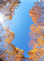 ダケカンバ林と木もれ日 22320014321| 写真素材・ストックフォト・画像・イラスト素材|アマナイメージズ