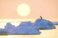 流氷と朝日とオオワシ