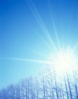 霧氷のカラマツ林と木もれ日