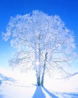 樹氷(一本の木)