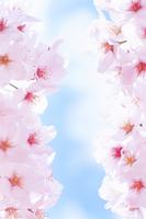 桜(ソメイヨシノ)