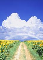 ヒマワリと道と入道雲と虹