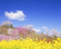 桜の木と花畑