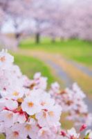 桜と道と桜並木