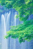 モミジの新緑と白糸の滝