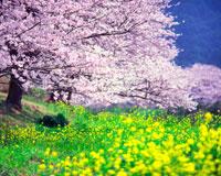 ソメイヨシノと菜の花 22320017513| 写真素材・ストックフォト・画像・イラスト素材|アマナイメージズ