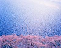 ソメイヨシノ並木と輝く釜房湖 22320017525| 写真素材・ストックフォト・画像・イラスト素材|アマナイメージズ
