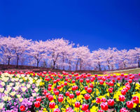 ソメイヨシノ並木とチューリップ 22320017533| 写真素材・ストックフォト・画像・イラスト素材|アマナイメージズ