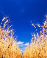 ハルユタカ 麦の穂