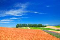 赤麦畑と木立 22320018717| 写真素材・ストックフォト・画像・イラスト素材|アマナイメージズ