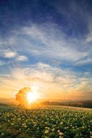 ジャガイモ畑と哲学の木と夕日