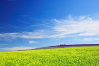 菜の花畑とラベンダー畑 22320018978| 写真素材・ストックフォト・画像・イラスト素材|アマナイメージズ