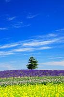 ラベンダーと菜の花畑の中の木立 22320018985| 写真素材・ストックフォト・画像・イラスト素材|アマナイメージズ