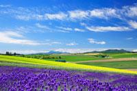 ラベンダーと菜の花畑と芦別岳 22320018990| 写真素材・ストックフォト・画像・イラスト素材|アマナイメージズ
