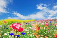 花畑に咲くポピー