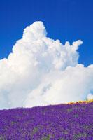 ラベンダー畑と入道雲 22320019021| 写真素材・ストックフォト・画像・イラスト素材|アマナイメージズ