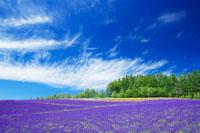 ラベンダーの花畑とすじ雲 22320019171| 写真素材・ストックフォト・画像・イラスト素材|アマナイメージズ