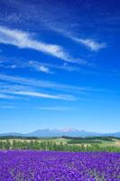 ラベンダー畑と大雪山 22320019186| 写真素材・ストックフォト・画像・イラスト素材|アマナイメージズ