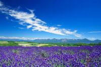 ラベンダー畑と十勝連峰 22320019189| 写真素材・ストックフォト・画像・イラスト素材|アマナイメージズ