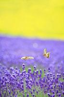 飛翔するキアゲハとラベンダーの花畑
