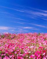 コスモス畑とすじ雲