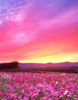 コスモス畑と夕焼け 22320020134| 写真素材・ストックフォト・画像・イラスト素材|アマナイメージズ