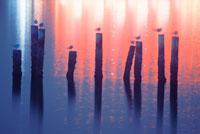 水面の杭とユリカモメ 22320020210| 写真素材・ストックフォト・画像・イラスト素材|アマナイメージズ