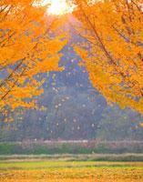 イチョウと夕日の木漏れ日