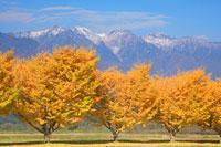 黄葉のイチョウ並木と木曽駒ヶ岳