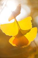 黄葉のイチョウの葉と木漏れ日