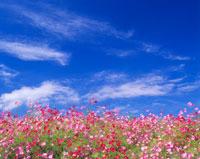 コスモス畑とすじ雲 22320021059| 写真素材・ストックフォト・画像・イラスト素材|アマナイメージズ