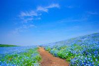 ネモフィラ咲く丘と遊歩道とすじ雲