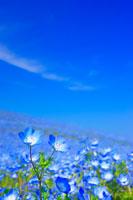 ネモフィラ咲く丘とすじ雲