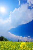 菜の花畑と発達した入道雲と太陽