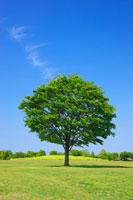 新緑のケヤキ木立と草原